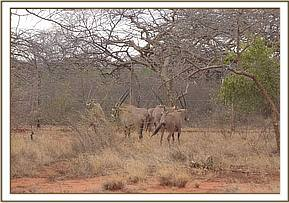Translocation of Oryx