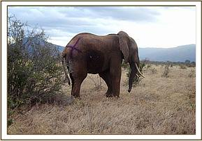 The bull is back on his feet with an X sparyed on his rear so that he can be monitored