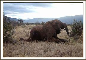 The bull gets back on to his feet after the revivial is administered