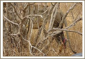Close up of the wound caused by a snare