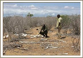 dead elephants tusks found intact
