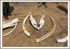 dead elephants tusks still intact
