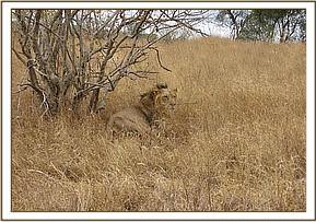 The injured lion