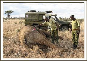 The bull is darted and falls on his side as the drug takes effect