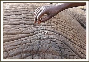 The arrow head was still buried in the elephant
