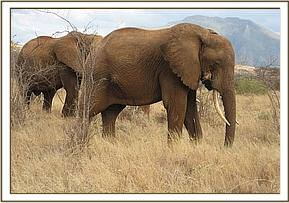 The wounded bull is found with a group of other young bulls