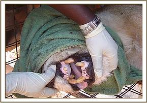 Trapped lioness found to have two broken teeth