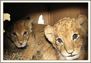 The two cubs on their way to Nairobi