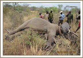 Unit tranquilizes the elephant