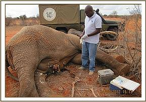 Vet treats the elephant