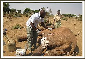 Elephant is treated by the vet