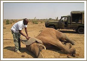 Elephant is darted for treatment