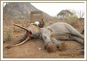 Elephant is darted