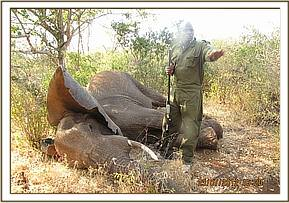 Elephant is prepared for treatment