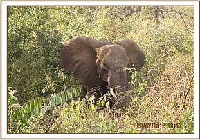 Elephant is located and darted