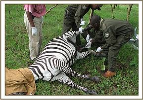 treatment of the Zebra