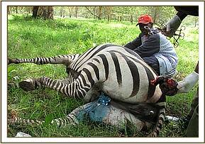Zebra after treatment