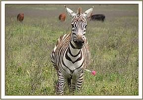darting Zebra