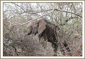 The elephant after treatment