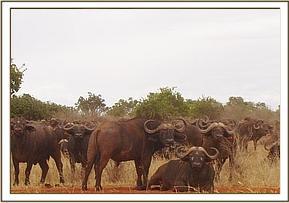 Part of the herd which the buffalo is believed to have joined