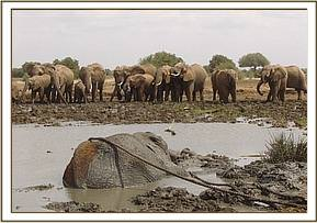 A herd of elephants watching the rescue