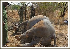A rhino carcass was found