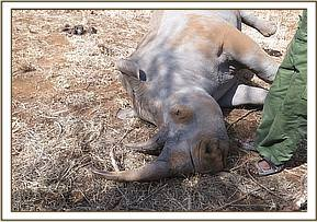 The rhino presumably died from natural causes