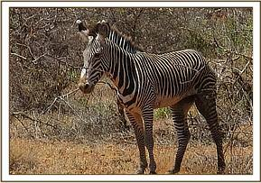 A zebra was seen with an injury in Samburu