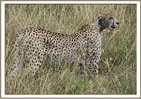 A Cheetah with mange