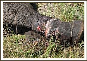 The snare had caused a deep wound in the elephants hind leg