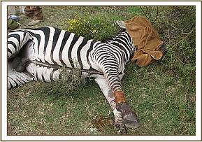 The wound on the zebras leg after it is cleaned and treated