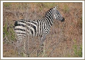 The zebra with the broken leg