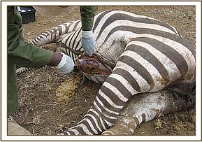 An autopsy is performed on the dead zebra