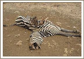 One of the dead zebras found at Mzima springs