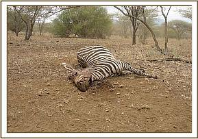 The first dead zebra at Kitani