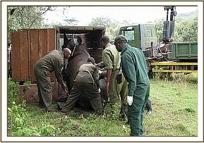 Loading the rhino to move him to the boma