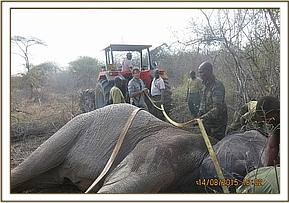 Straps and a vehicle are used to turn the elephant