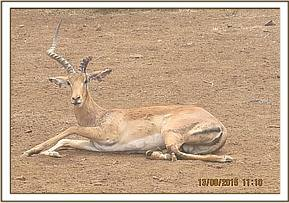 An injured Impala was seen by the vet team