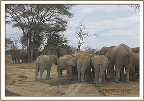 The other elephants are moved off with a vehicle