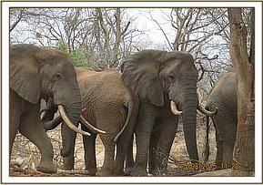 The elephant remains in the centre of the herd