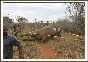 Straps are used to flip the elephant