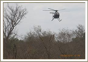 The helicopter is used for darting