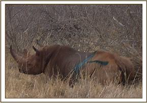 One of the rhinos being ear notched in the Tsavo West Rhino Sanctuary