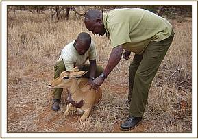 Getting ready to remove the snare from around the Impala's neck