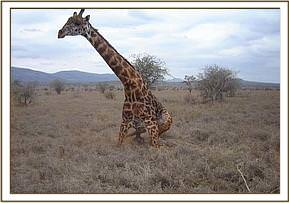 The giraffe gets to its feet once the snare has been removed