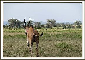 The Eland is darted