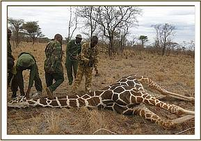 Removing the snare from the immobilized giraffe