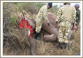 The immobilized injured elephant