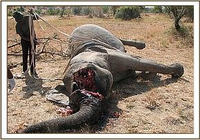 The dead poached elephant