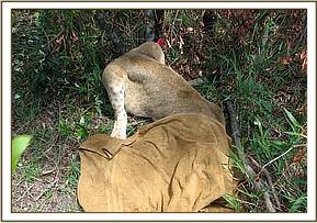 The immobilized lion cub after darting
